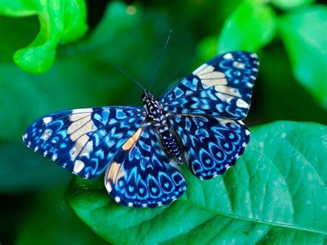 imagenes mariposas raras galer 237 a de im 225 genes mariposas de colores