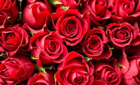 imagenes de rosas injertadas las rosas mundo flores