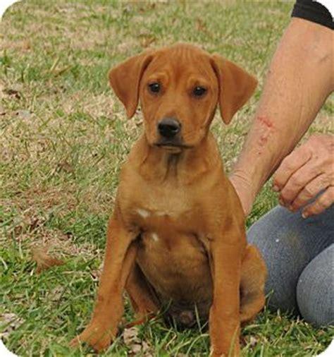 redbone coonhound golden retriever mix pet not found