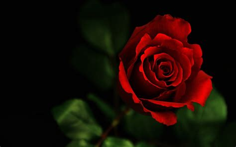 wallpapers red rose wallpapers red rose wallpaper 183 2560 x 1600 wallpaperlayer com