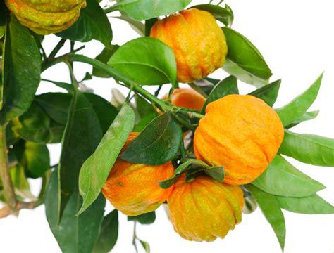 pianta di arancio in vaso pianta di arancio amaro incannellato in vaso 20 22 cm