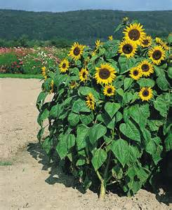 Yellow Annual Flowers Helianthus Annuus Holiday Annual Benary