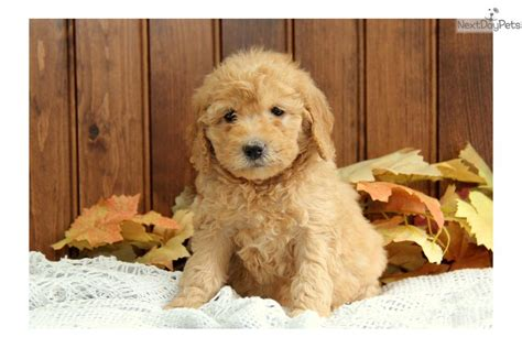 goldendoodle puppy names meet a goldendoodle puppy for sale for 1 250