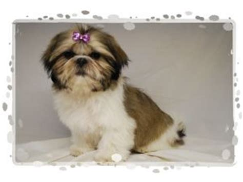 half maltese half shih tzu for sale shih tzu puppies in alabama