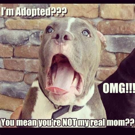 Pitbull Memes - david alzate on twitter quot hahahahaha poor pitbull dog