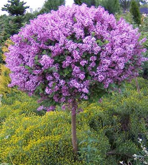 lilac tree korean lilac tree syringa meyeri standard for sale