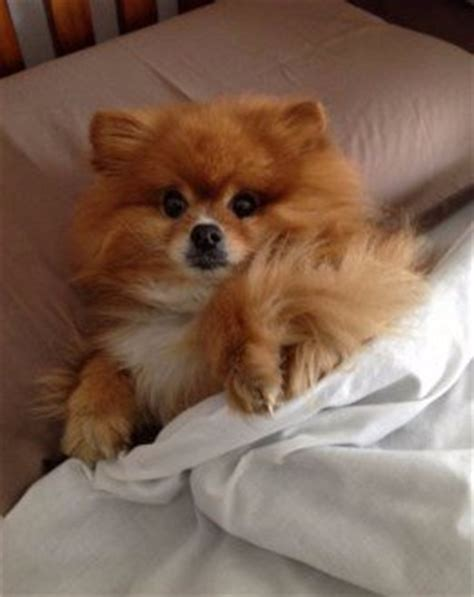 pomeranian bed pomeranian sleep habits puppies and adults