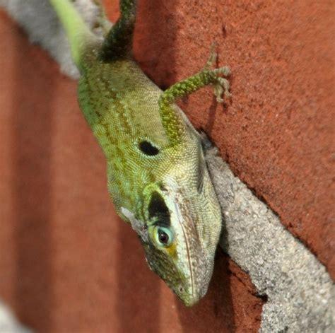city lizards northwest wildlife