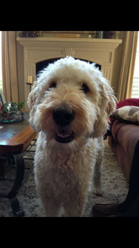 Goldendoodle Haircuts Styles | short ears and short haircut on a goldendoodle