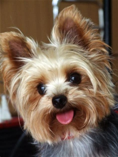 best companion for a yorkie recommended breeds for elderly companions 187
