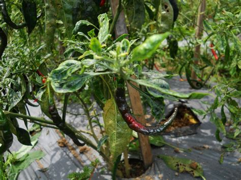 Bibit Cabai Dan Tomat tomat dan cabai terserang penyakit ini cara