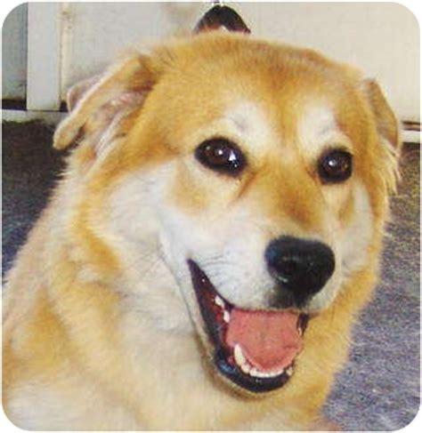 shiba inu golden retriever mix cheyenne adopted puppy 11292010a 06122011 orange park fl golden retriever