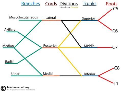 brachial plexus diagram extremity blocks rk md
