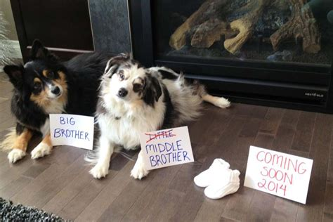 pregnancy announcements with dogs 50 adorable dogs who shared their family s pregnancy news in the best way huffpost