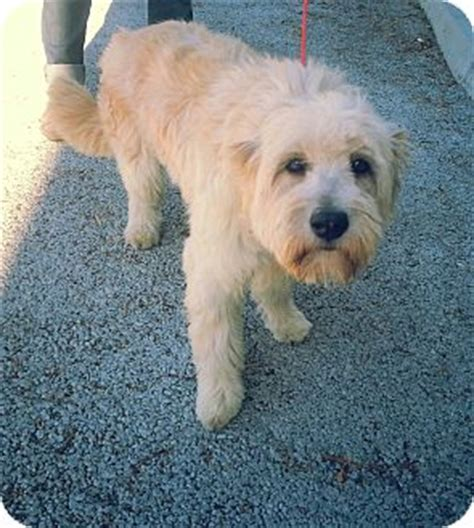 golden retriever wheaten terrier mix sochi adopted santa ca wheaten terrier golden retriever mix