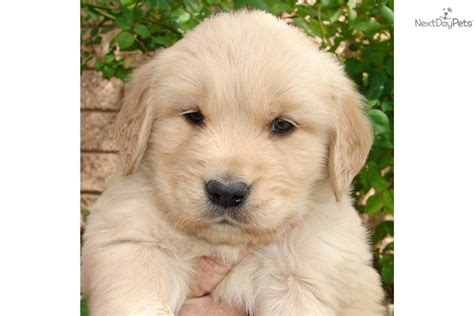 american golden retriever puppies meet buddy a golden retriever puppy for sale for 800 all american golden