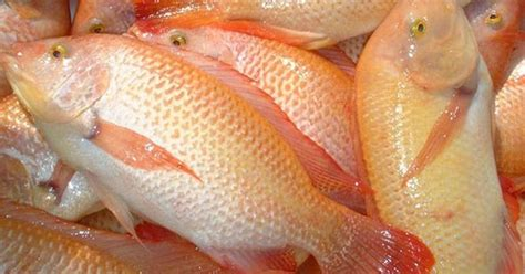 Bibit Ikan Nila Saat Ini pusat penjualan bibit ikan lele terbesar di bekasi bibit
