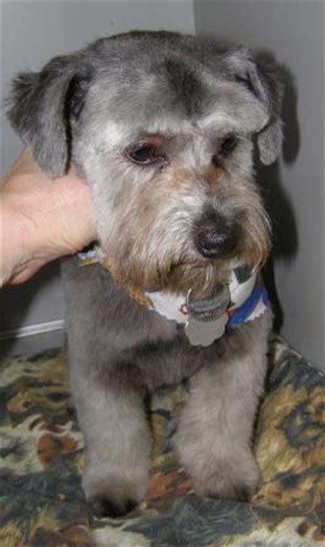 shih tzu schnauzer cut black morkie image search results hairstyles