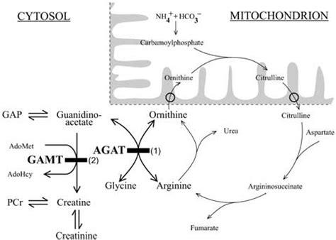 s adenosylmethionine creatine the metabolic pathway of creatine phosphocreatine adohcy