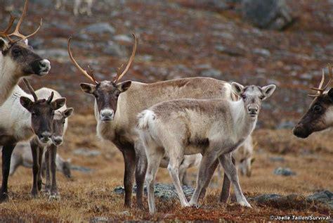 herd maße reindeer mystery as world s largest herd