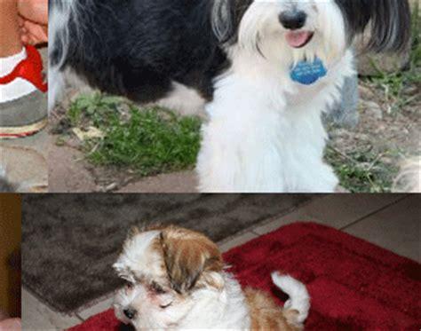 havanese puppies for sale in gilbert az pictures havanese silk dogs r havanese
