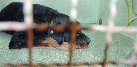 della cania 194 171 gli animalisti impediscono l 194 adozione dei cani 194 187