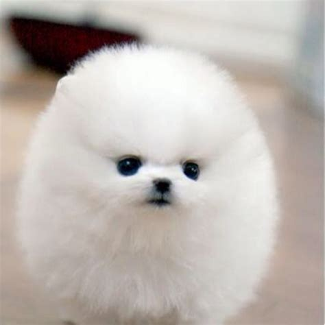 puffball puppy just a puffball i dogs