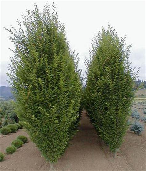 european trees reimer nursery oregon wholesale tree nursery