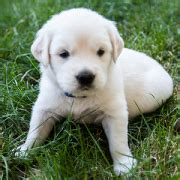 golden retriever puppies massachusetts sale crane hollow goldens