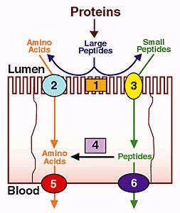 protein absorption protein absorption gastrointestinal medbullets step 1