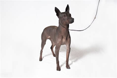 American Kennel Club Dog Breeds by American Kennel Club Recognizes Two Dog Breeds The