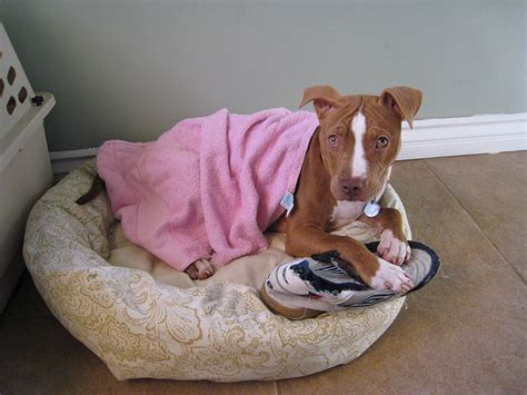 how to your to stop chewing on things how to teach your pit bull to stop chewing on your things iheartdogs