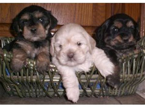 yorkie poo puppies for sale in pittsburgh pa lhasa apso puppies for sale