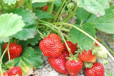 Strawberry Plant Buy Chandler Strawberry Plants Sakuma Market Stand