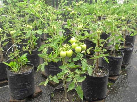 artikel membuat kurma tomat cara menanam tomat dalam pot
