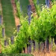 potare uva da tavola potatura uva da tavola curiosit 224 uva
