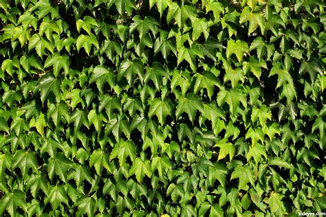 green vine wallpaper green vine wall pictures to pin on pinterest pinsdaddy