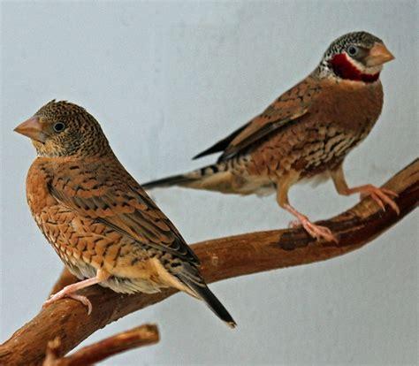 uccelli esotici da gabbia uccelli da gabbia gola tagliata