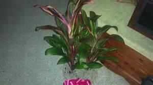 Foliage House Plant Identification - cordyline houseplant identification flower shop network