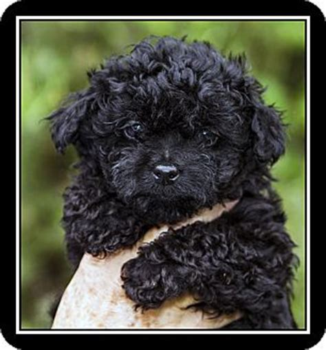 black maltese puppies pin black poodle maltese mix image search results on