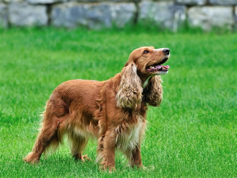 setter dogs pictures irish setter dog puppies