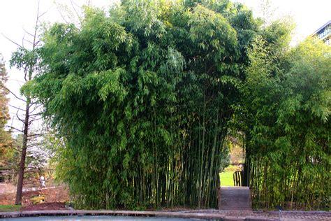 garten bambus bambus im garten ihr ideales zuhause stil