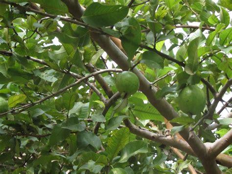 in tree file guava in tree jpg wikimedia commons
