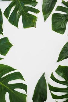 border   monstera leaves  white background