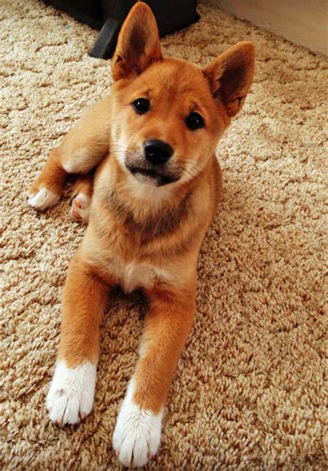 shiba inu mix puppies marla the shiba inu mix puppies daily puppy