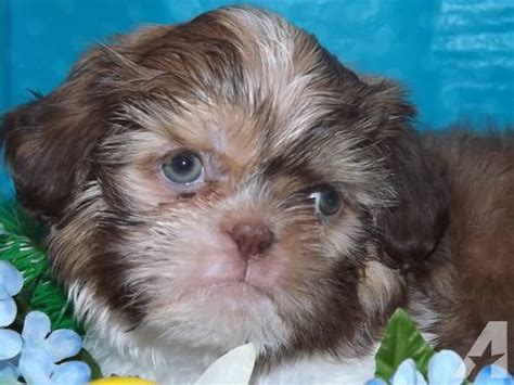 liver shih tzu for sale gem liver shih tzu w blue for sale in logansport indiana classified