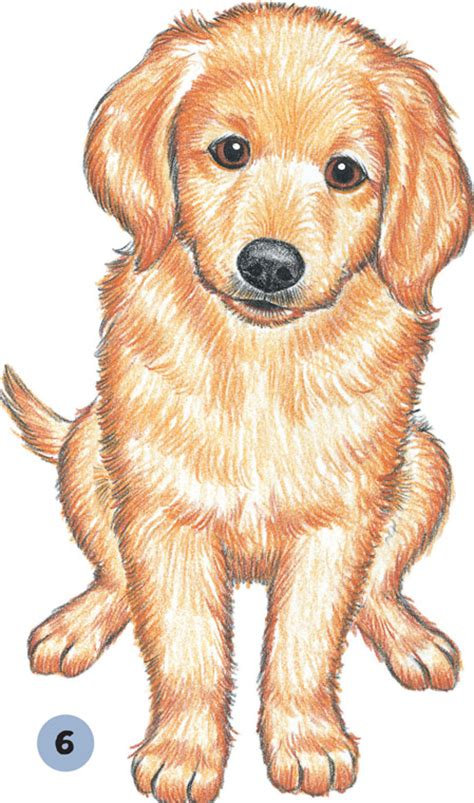 how to draw a golden retriever easy golden retriever pencil and in color golden retriever