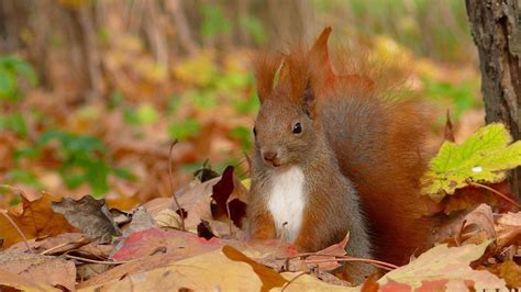 libro animal seasons squirrels autumn squirrel squirrel fall leaves android wallpapers for free