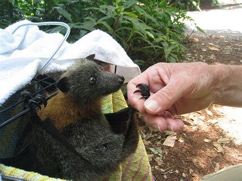 fruit bat pet aww i want a pet fruit bat bats a vires friend and