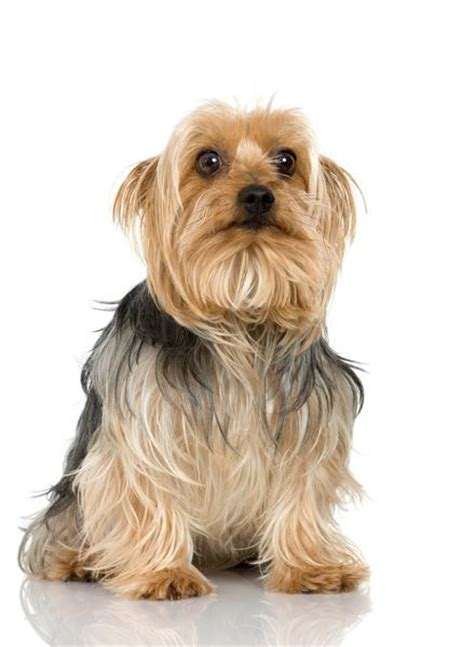 silky terrier puppy silky terrier history personality appearance health and pictures